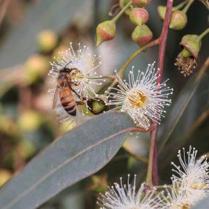 Eucalypts For The Home Garden