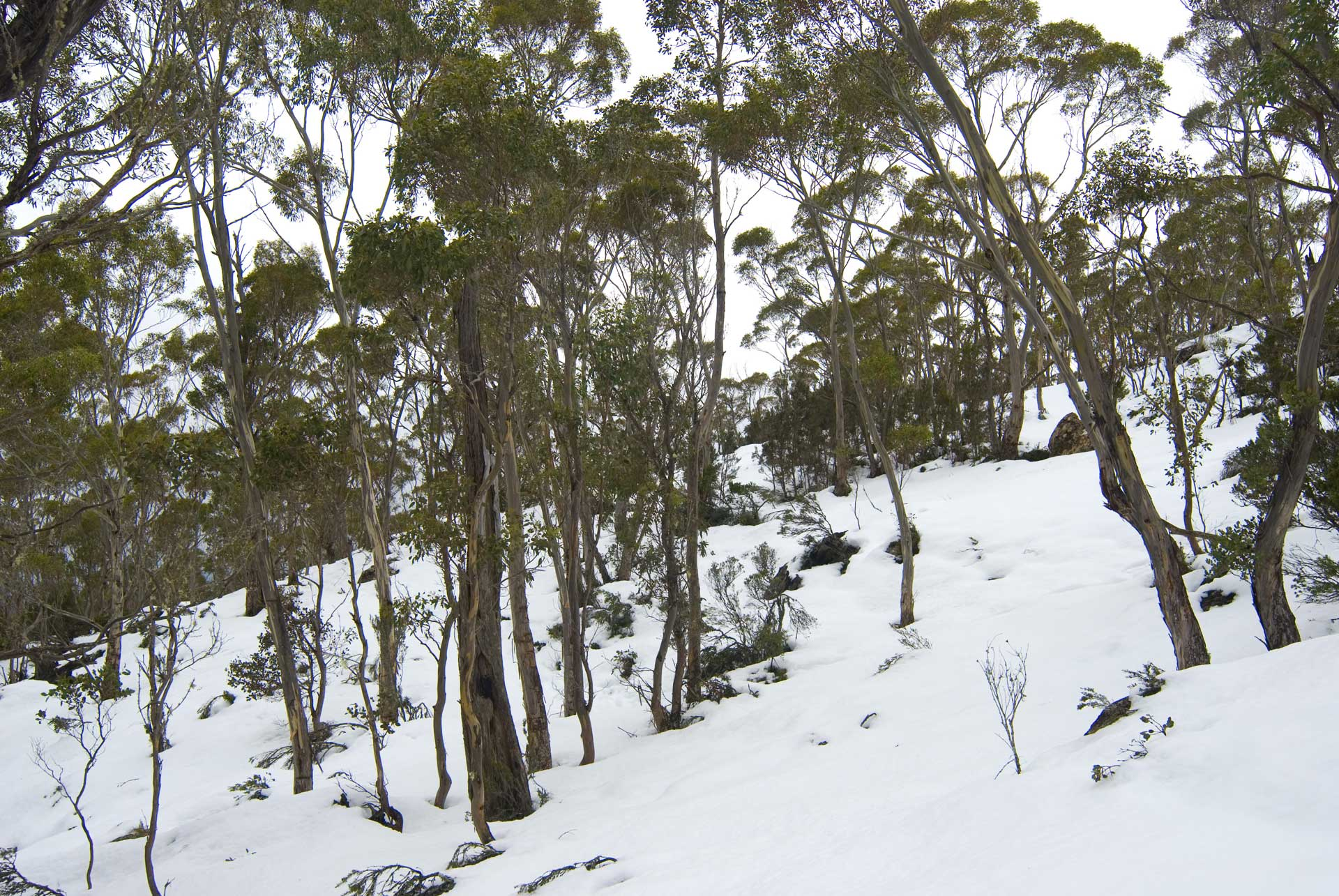 Eucalypts on a snow-covered slope