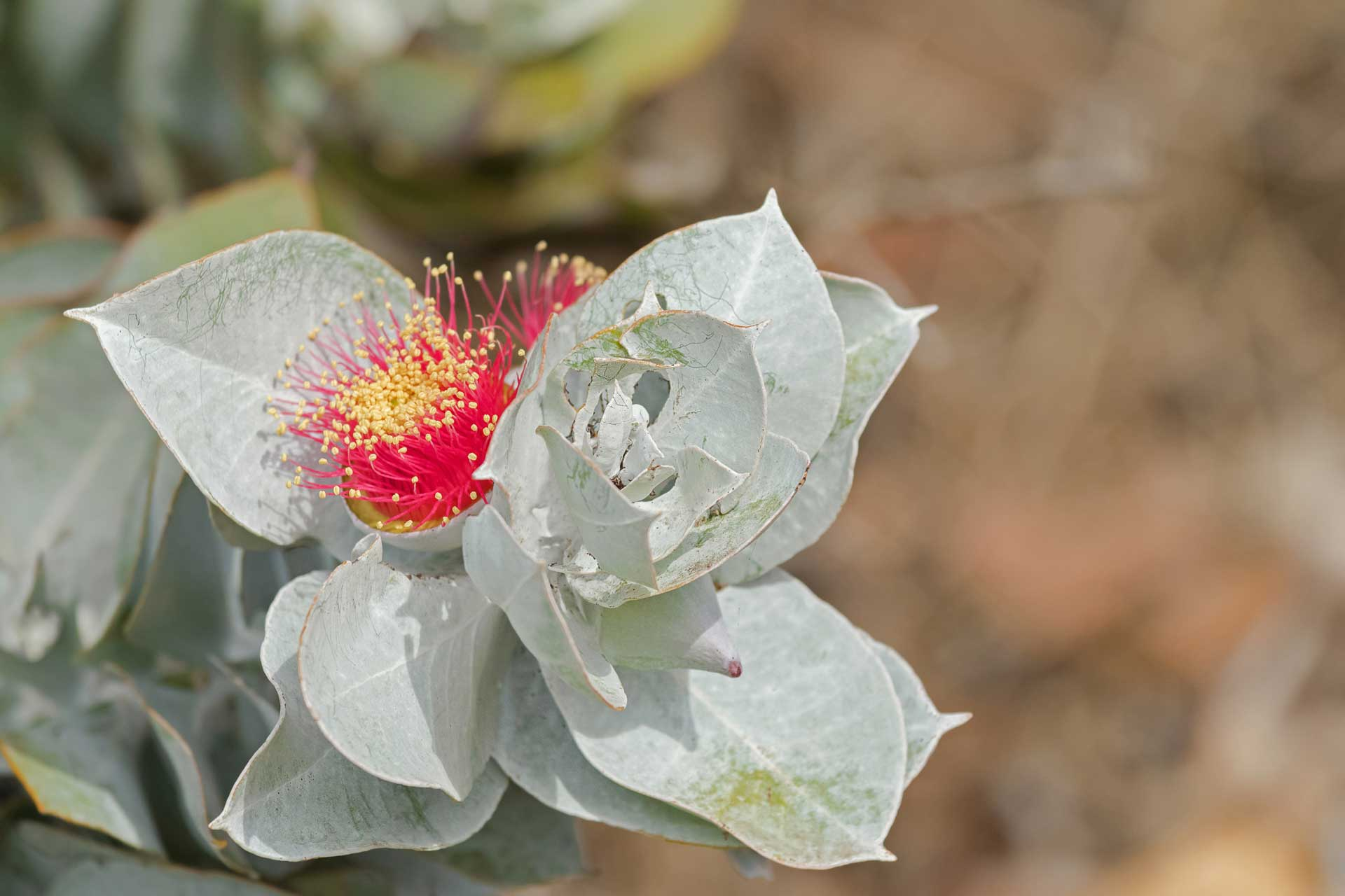 A eucalypt flower