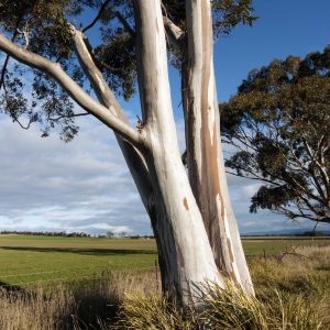 Conserving Eucalypts Symposium
