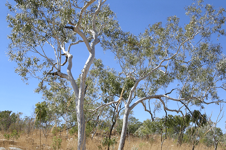 National Eucalypt Day Events