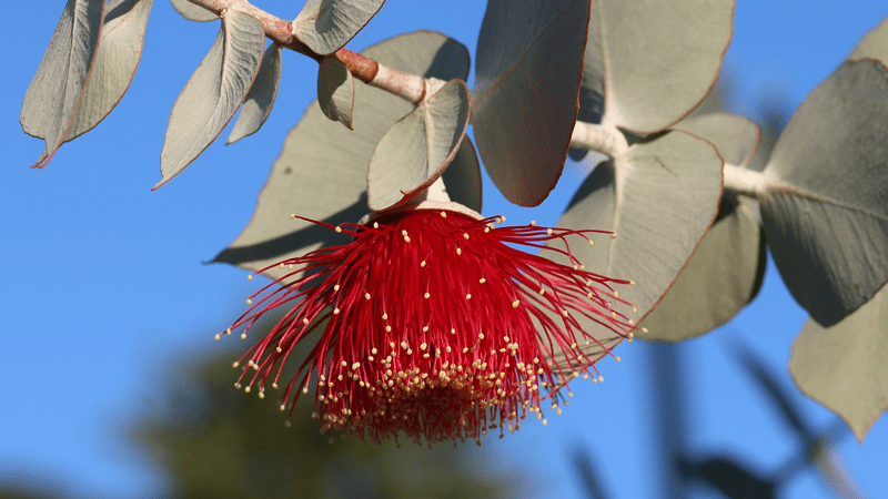 National Eucalypt Day