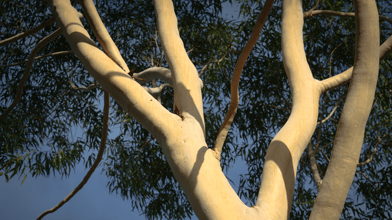 Vote For Your Favourite Eucalypt