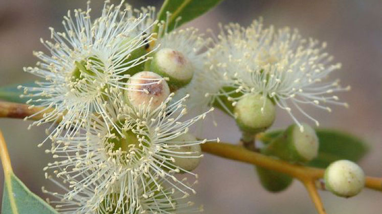Research Conference: Eucalypt genetics: fundamental and applied research in a post genome era
