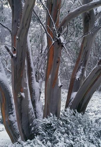 2019 Winner - The Tenacious Snow Gum - Eucalyptus pauciflora