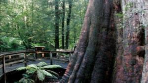 Self Guided Walk:  Ada Tree, Yarra Ranges