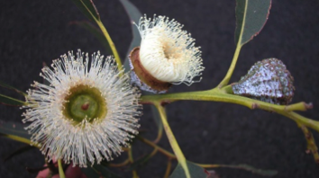 Display: All Things Eucalyptus University of Tasmania CANCELLED