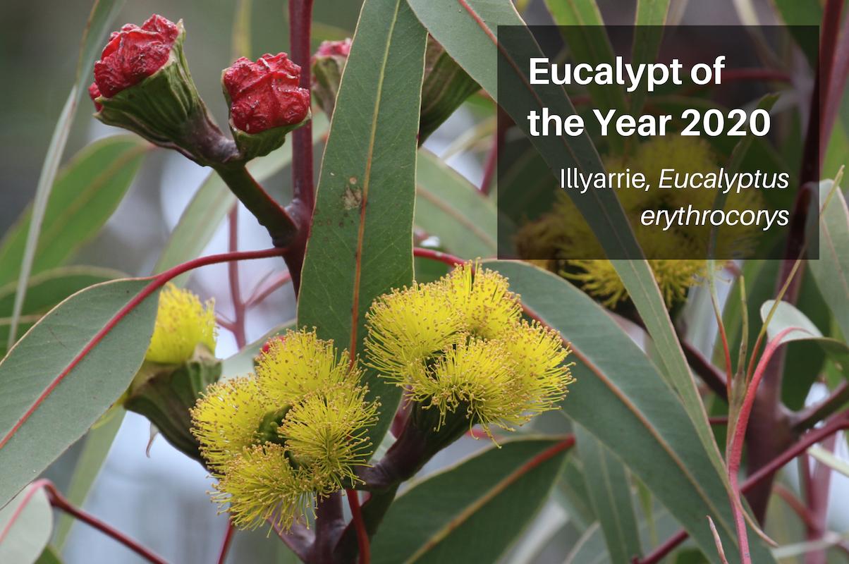 2020 Winner - The Stunning Illyarrie - Eucalyptus ethrocorys