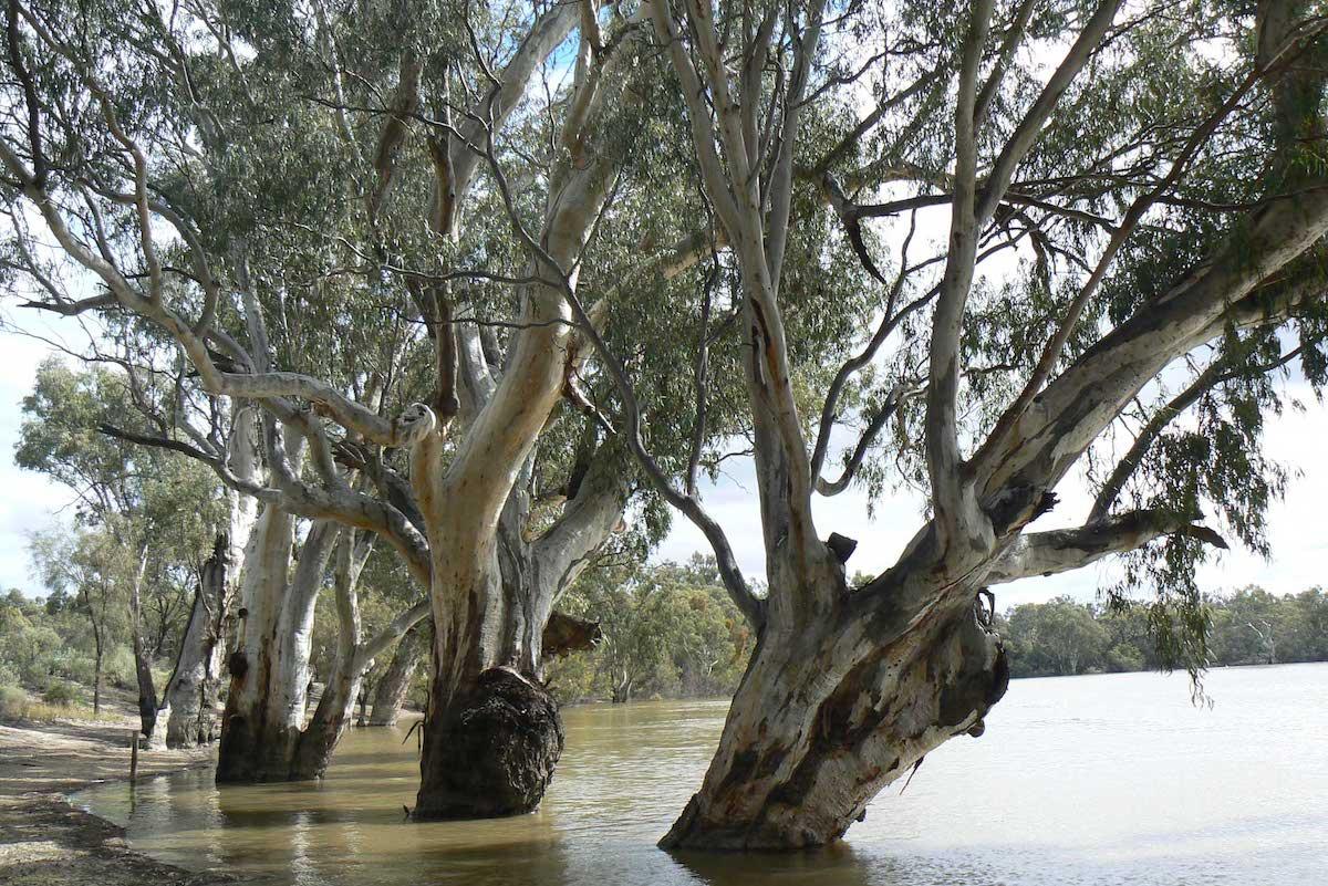 2018 Inaugural Winner - the Majestic River Red Gum - Eucalyptus camaldulensis